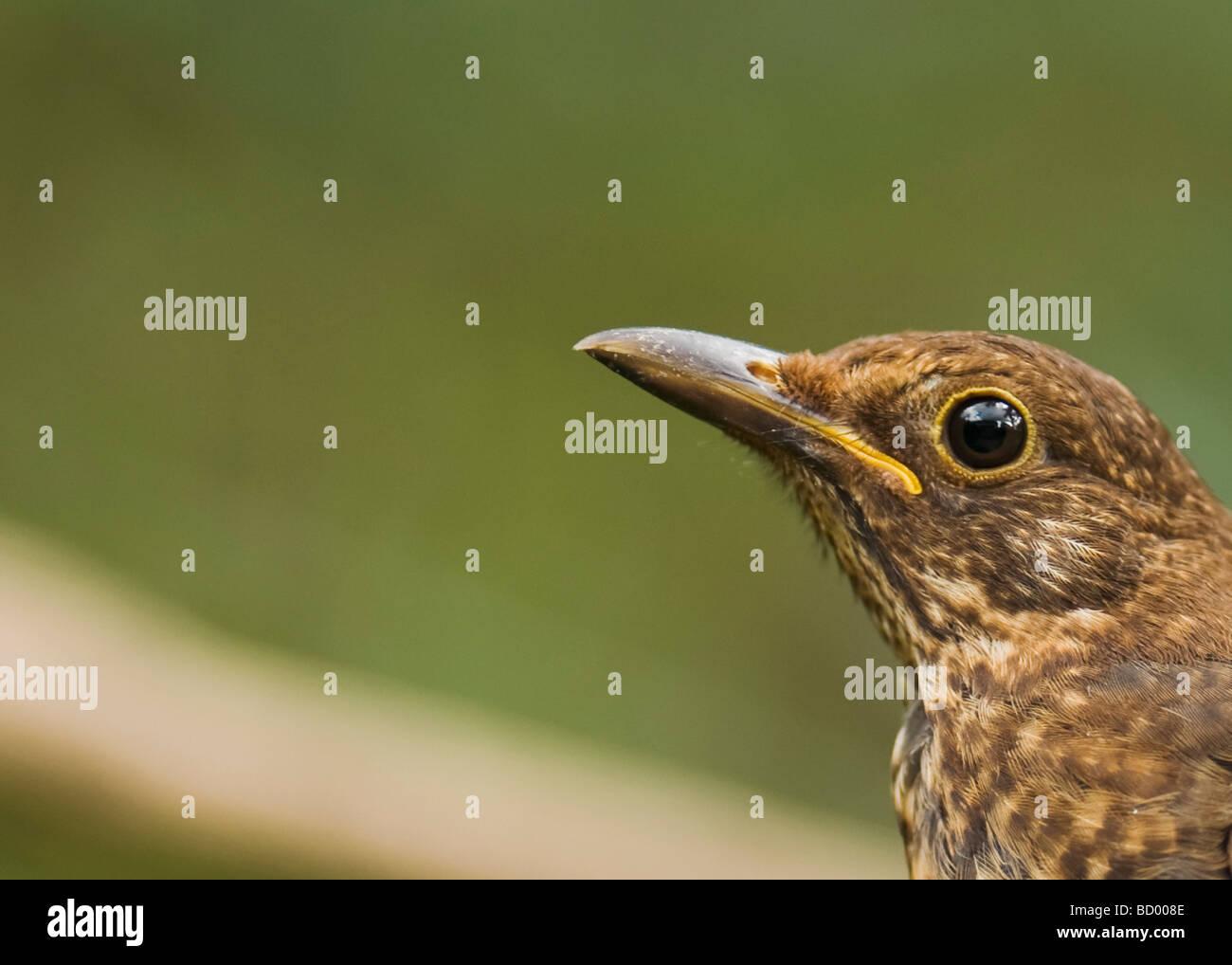 "Blackbird  ""Turdus marula"" sitting on branch. - Stock Image"