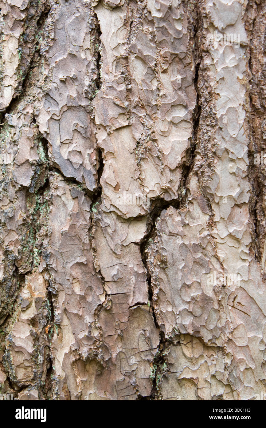 Bark on trunk of a Norway Spruce Picea abies Kent UK - Stock Image