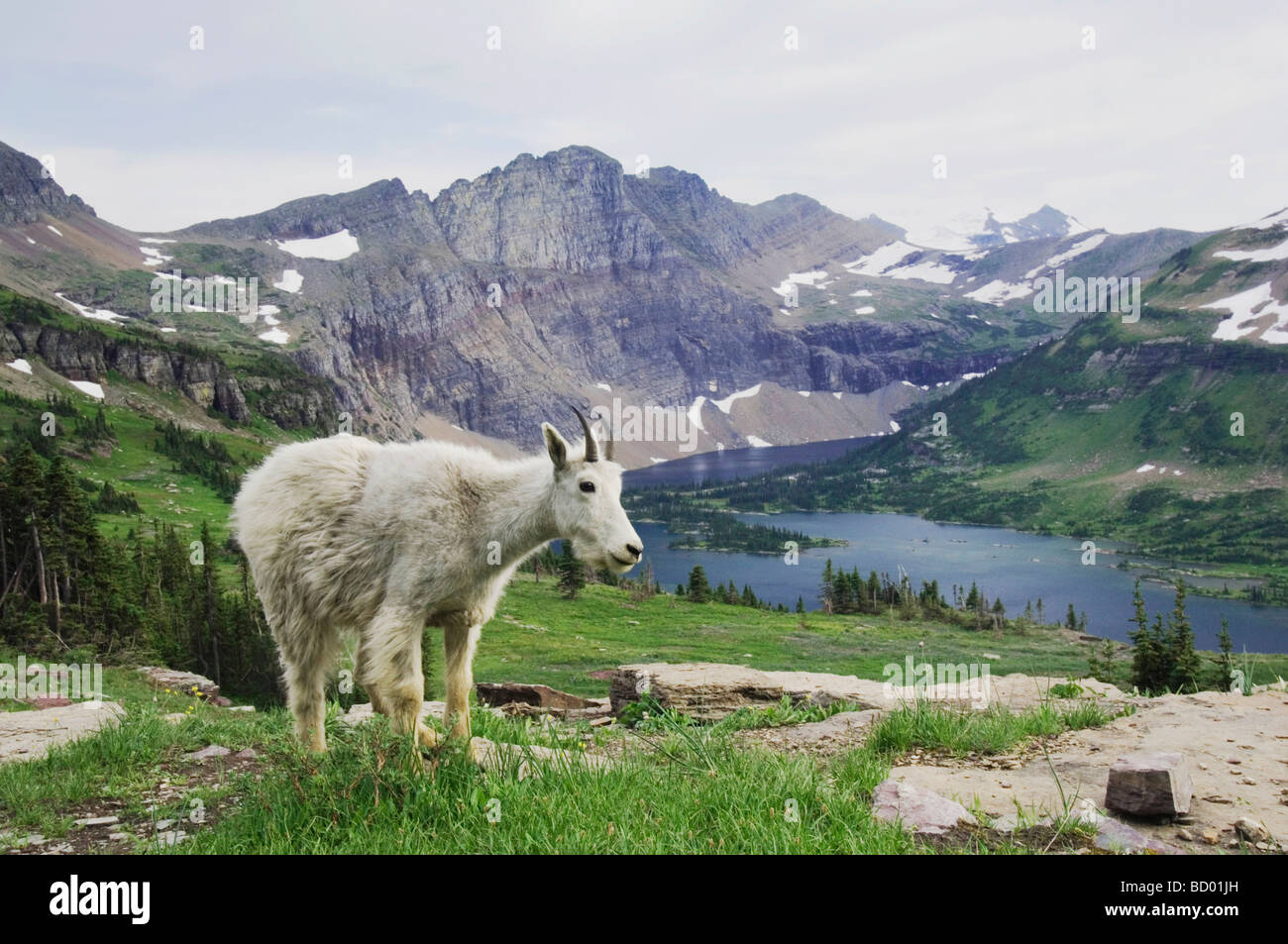 Mountain Goat Oreamnos americanus Juvenile shedding winter coat over Hidden Lake Glacier National Park Montana USA - Stock Image