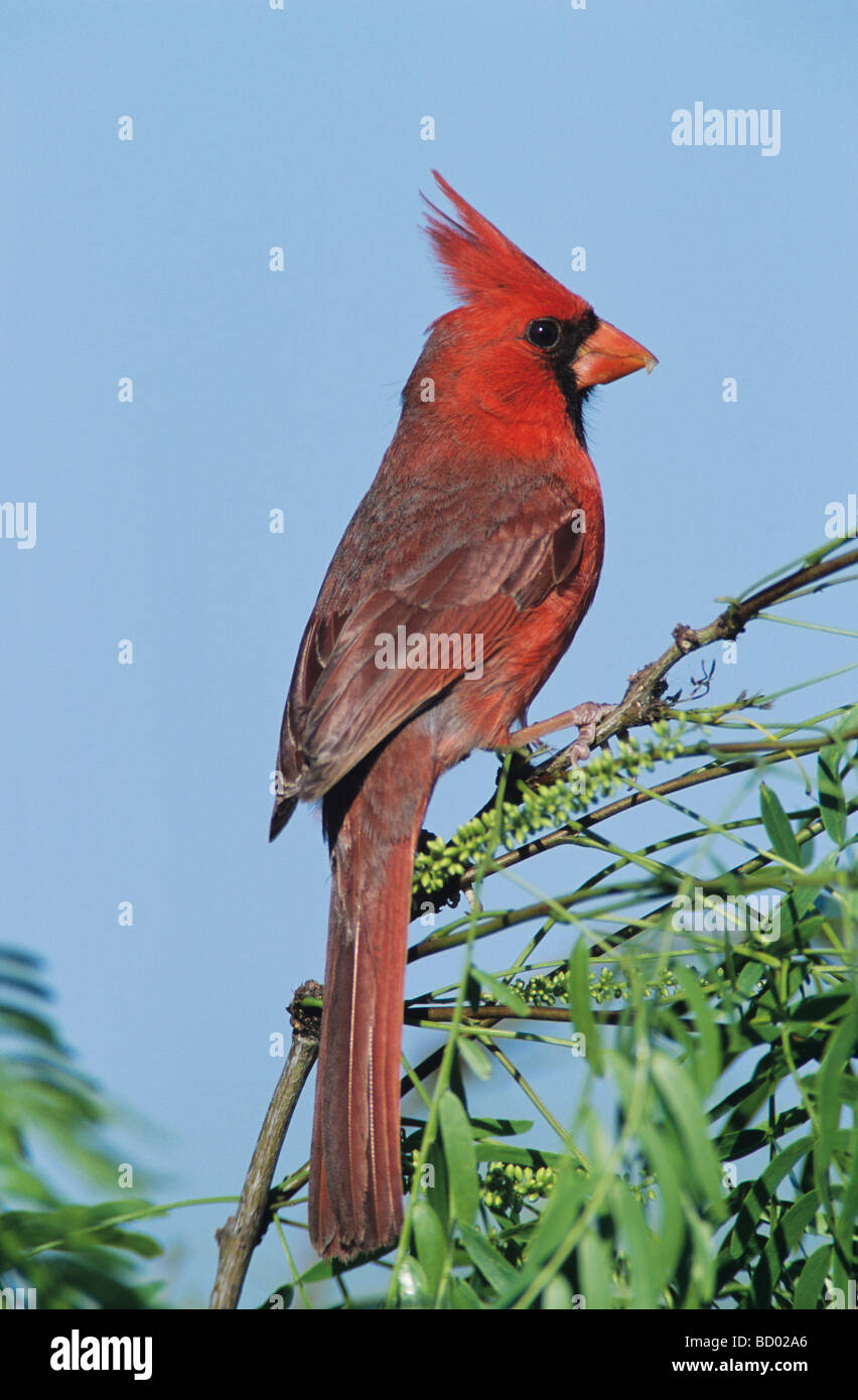 Northern Cardinal Cardinalis cardinalis male Welder Wildlife Refuge Sinton Texas USA April 2005 - Stock Image