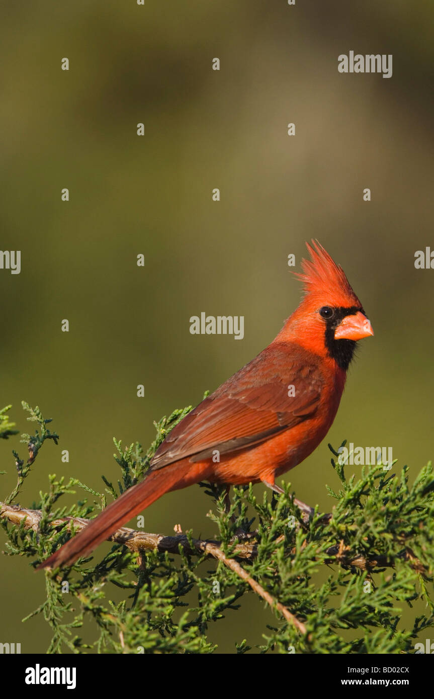 Northern Cardinal Cardinalis cardinalis male on Mountain Cedar Juniperus ashei Uvalde County Hill Country Texas - Stock Image
