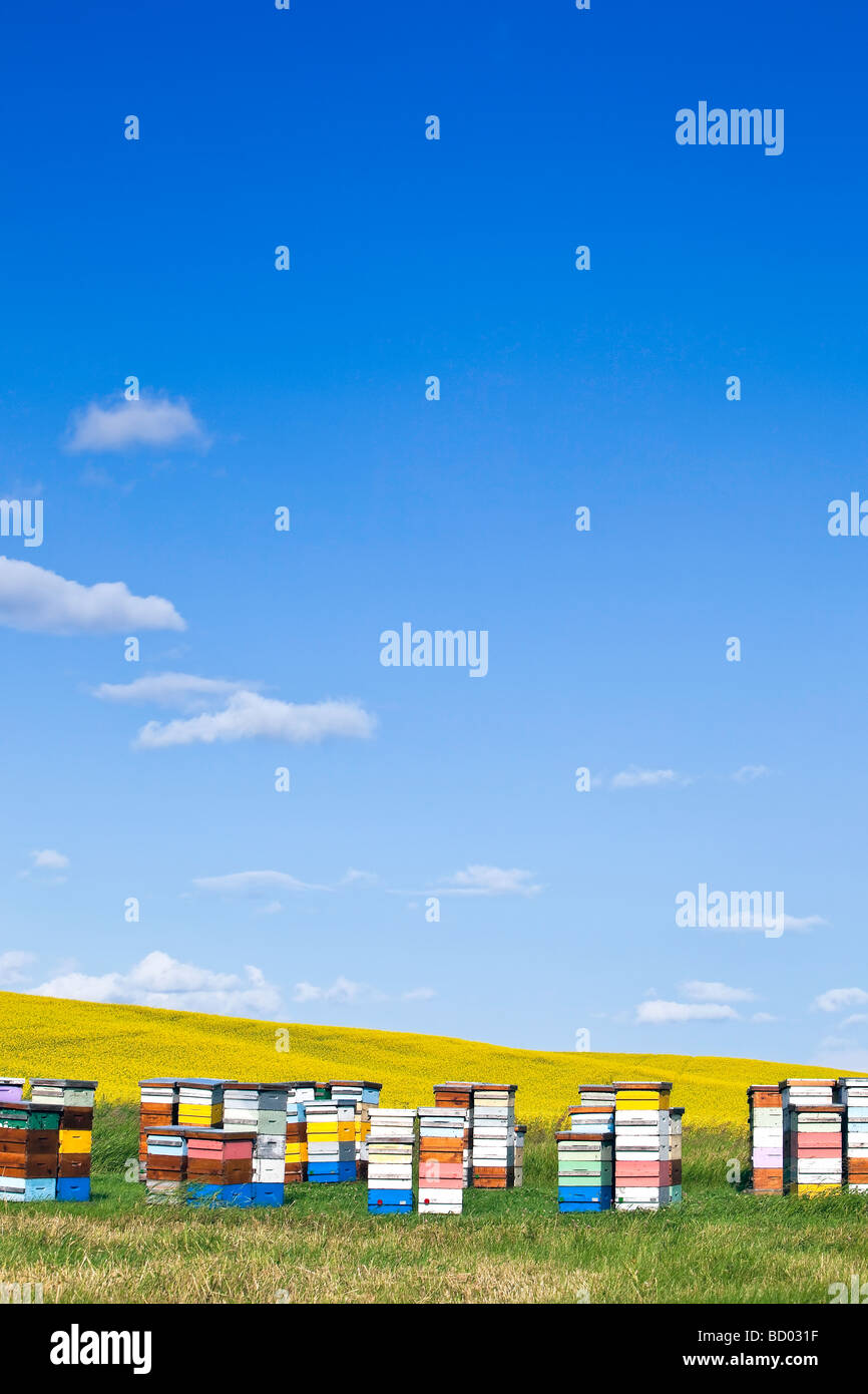 Beehives in colored boxes, on the Canadian Prairie, Pembina Valley, Manitoba, Canada. - Stock Image