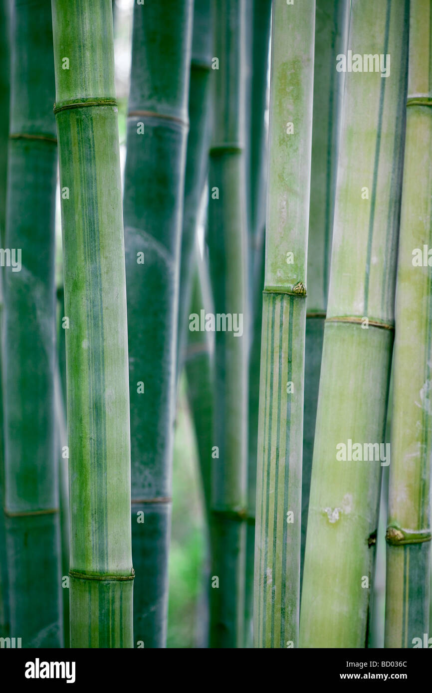 large bamboo stalks with natural sun lighting - Stock Image