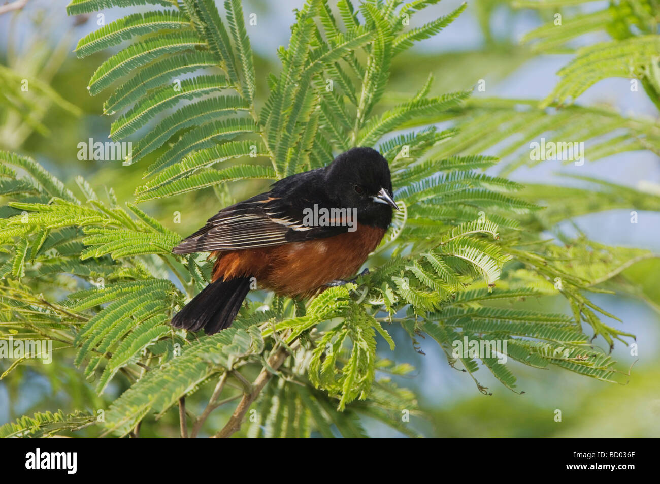 Orchard Oriole Icterus spurius male South Padre Island Texas USA May 2005 - Stock Image