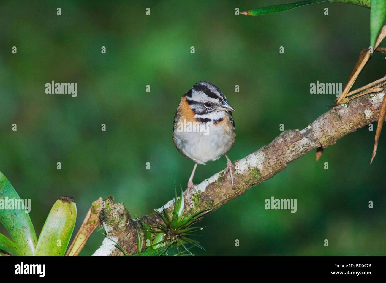 Rufous collared Sparrow Zonotrichia capensis adult perched Bosque de Paz Central Valley Costa Rica Central America Stock Photo
