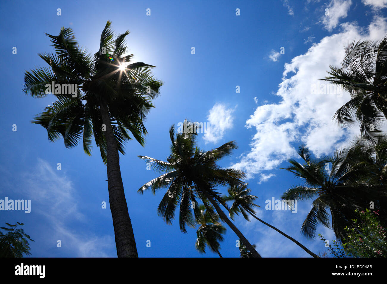 Coconut palm trees, French Polynesia - Stock Image