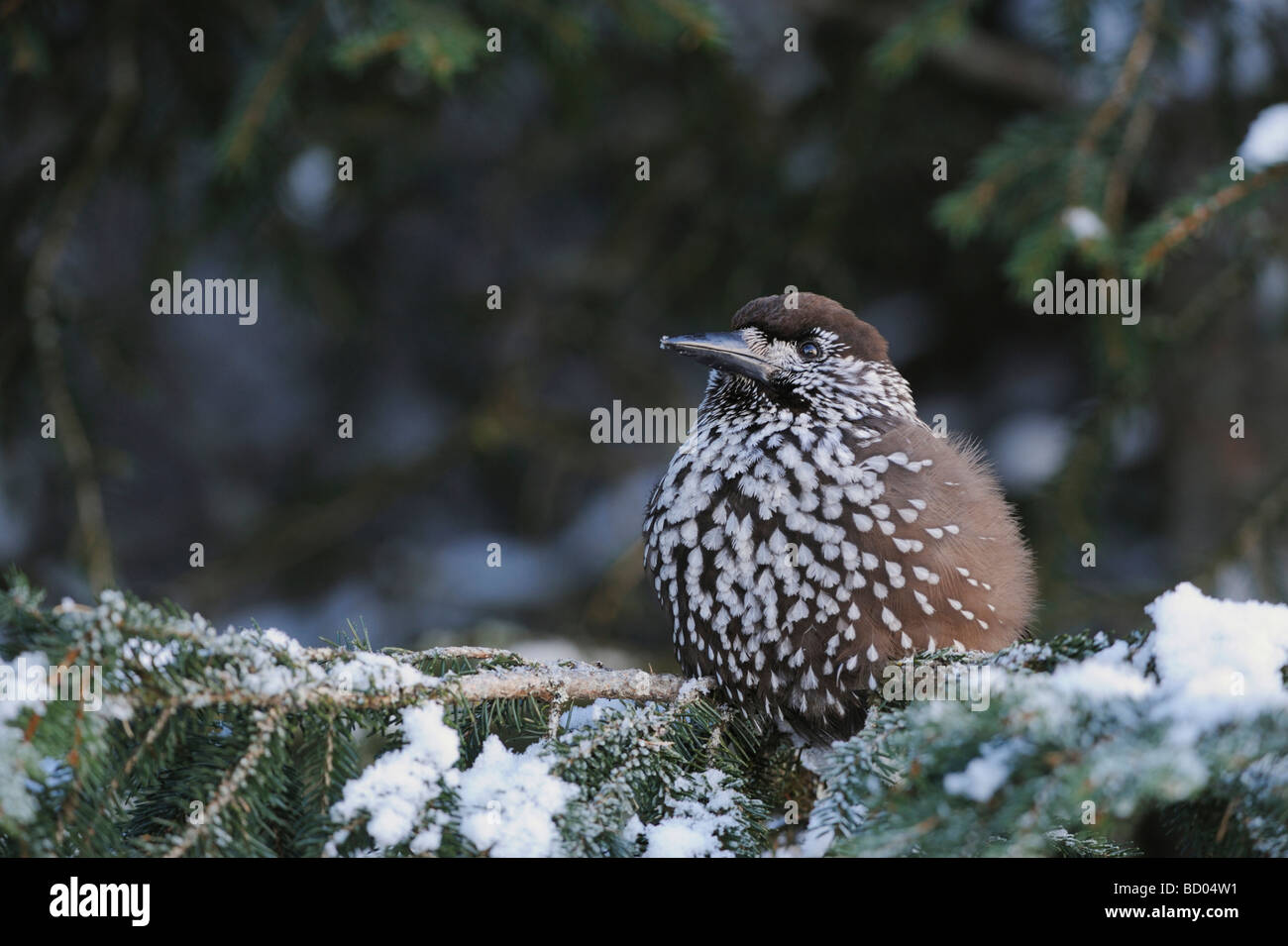 Spotted Nutcracker Nucifraga caryocatactes adult perched on Norway spruce ruffled by minus 15 Celsius Davos Switzerland - Stock Image