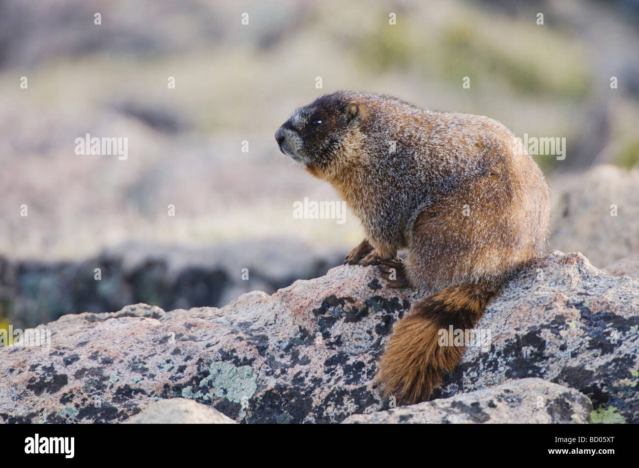 Yellow bellied Marmot Marmota flaviventris adult on rock boulder Rocky Mountain National Park Colorado USA June - Stock Image