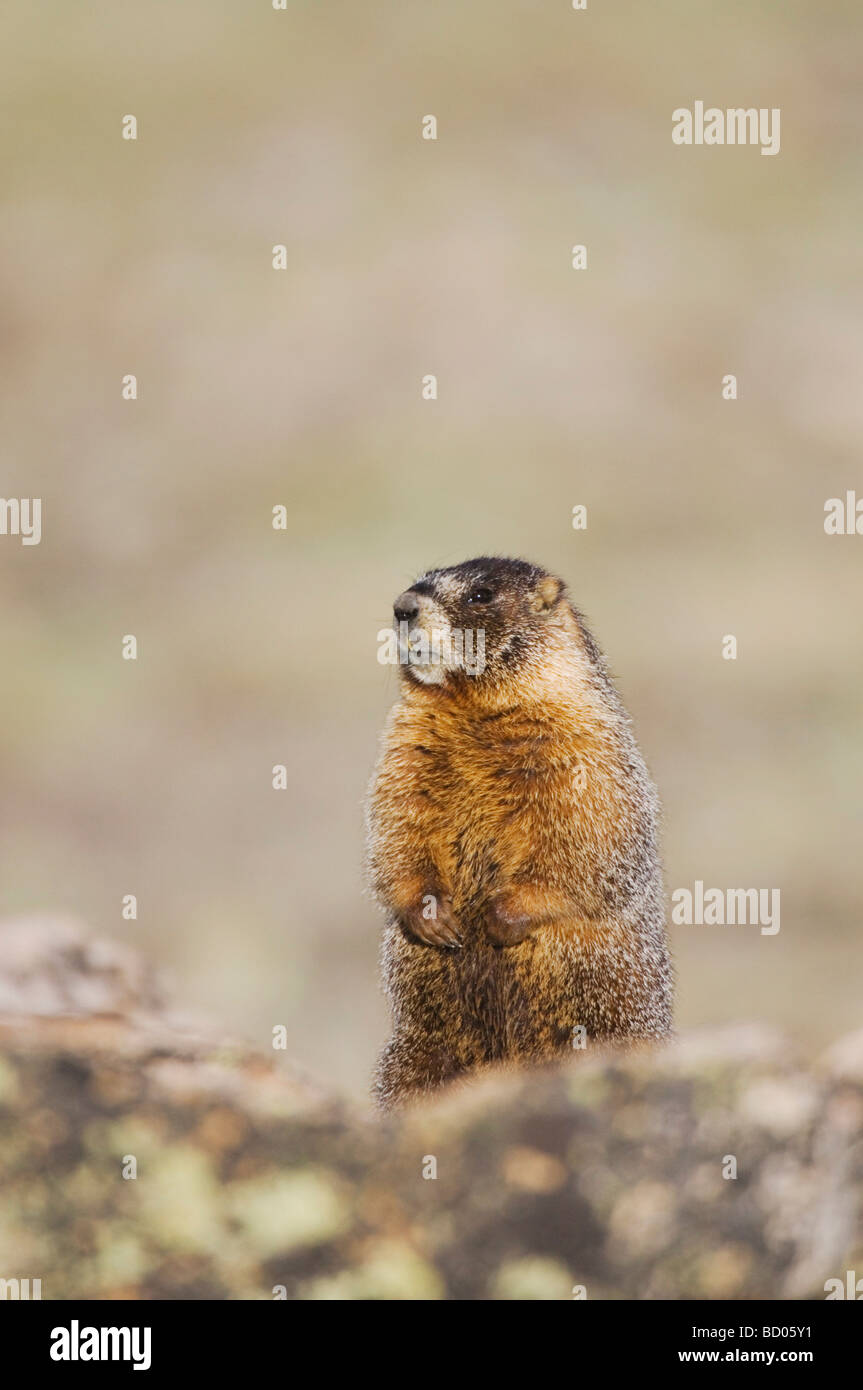 Yellow bellied Marmot Marmota flaviventris adult standing on rock boulder Rocky Mountain National Park Colorado - Stock Image
