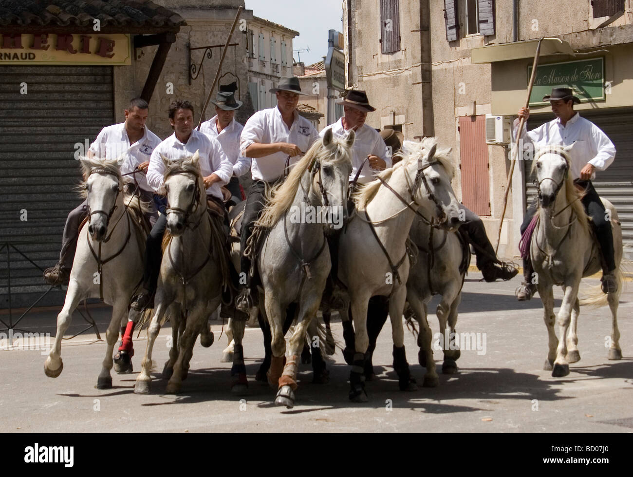 b3d27b52fda Camargue Guardians on their white horses herd the black bulls through the  streets on their way