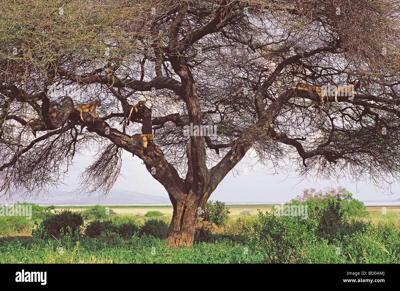 Six tree climbing lions resting on the braches of Acacia tortilis tree in Lake Manyara National Park Tanzania East - Stock Image