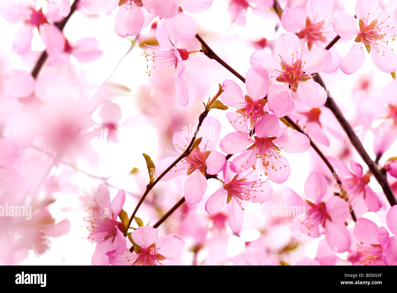 pink plum flower - Stock Image