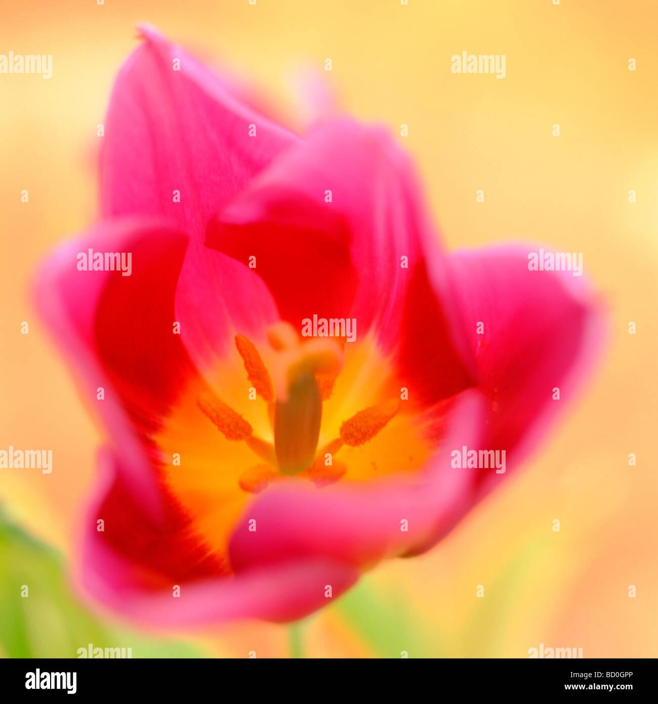 contemporary tulip epitomising spring fine art photography Jane Ann Butler Photography JABP273 Stock Photo