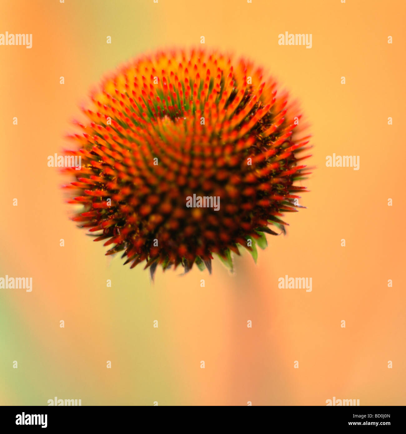 a showy flower found in herbal medicines fine art photography Jane Ann Butler Photography JABP284 - Stock Image
