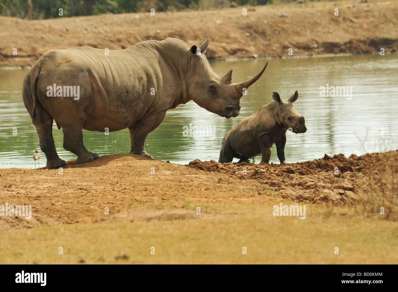 Royal Hlane National Park, Swaziland, female,White Rhino, Ceratotherium simum, watching calf play, animals, endangered, Stock Photo