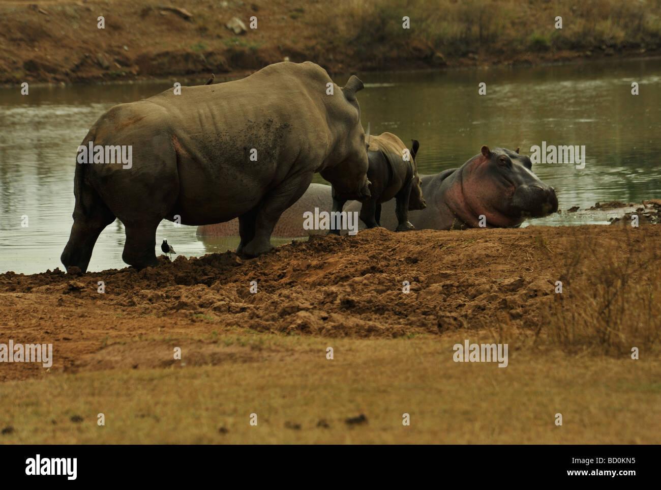 Royal Hlane National Park, Swaziland, White Rhino, Ceratotherium simum, female and calf interacting, Hippo, Hippopotamus Stock Photo