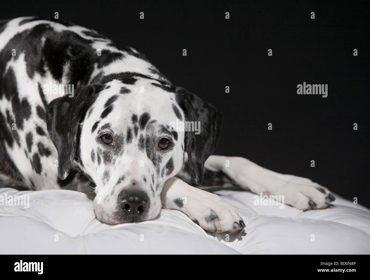 Adult male Dalmatian portrait Stock Photo