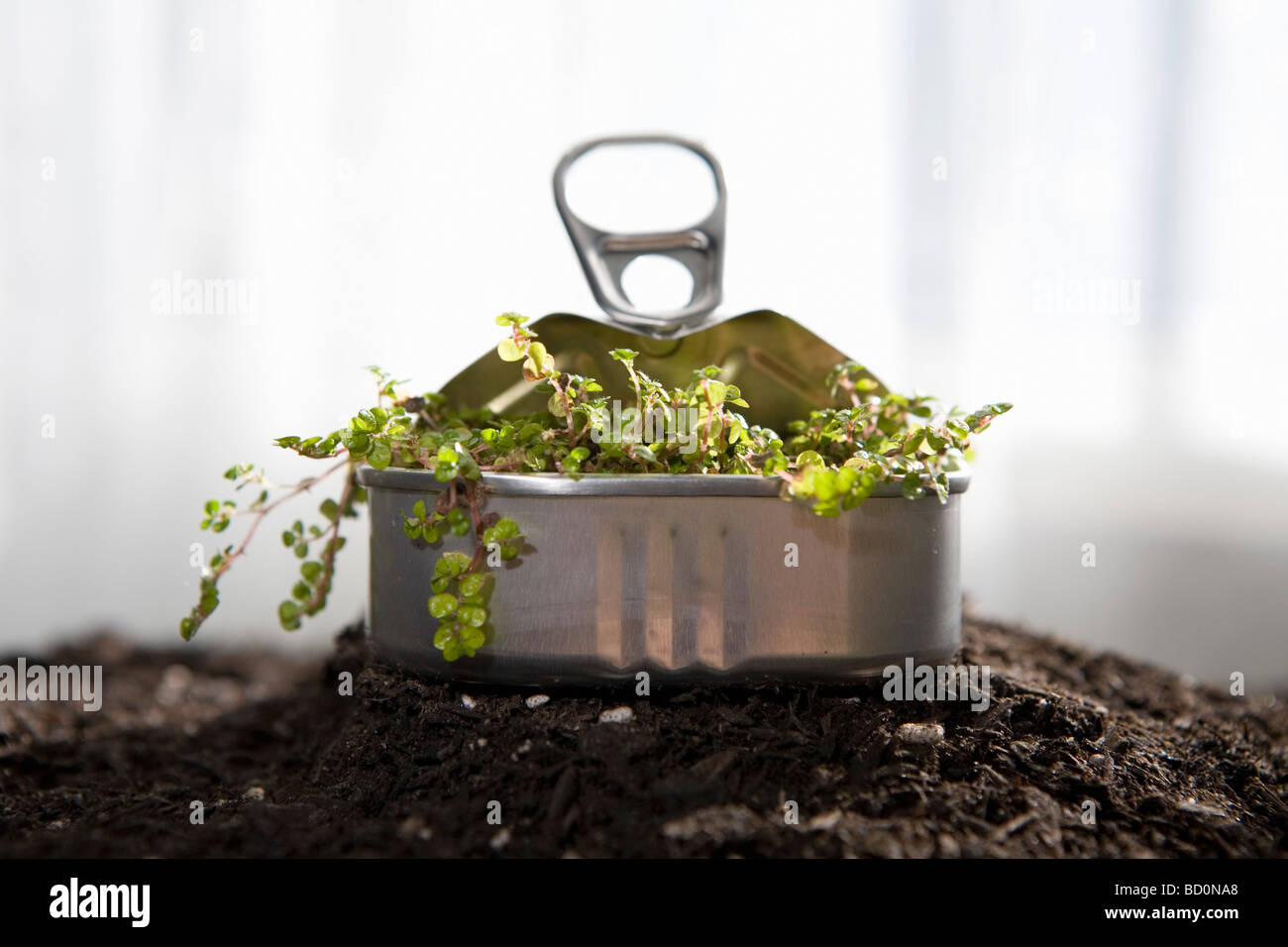 Small plant sprouting in sardine can Stock Photo