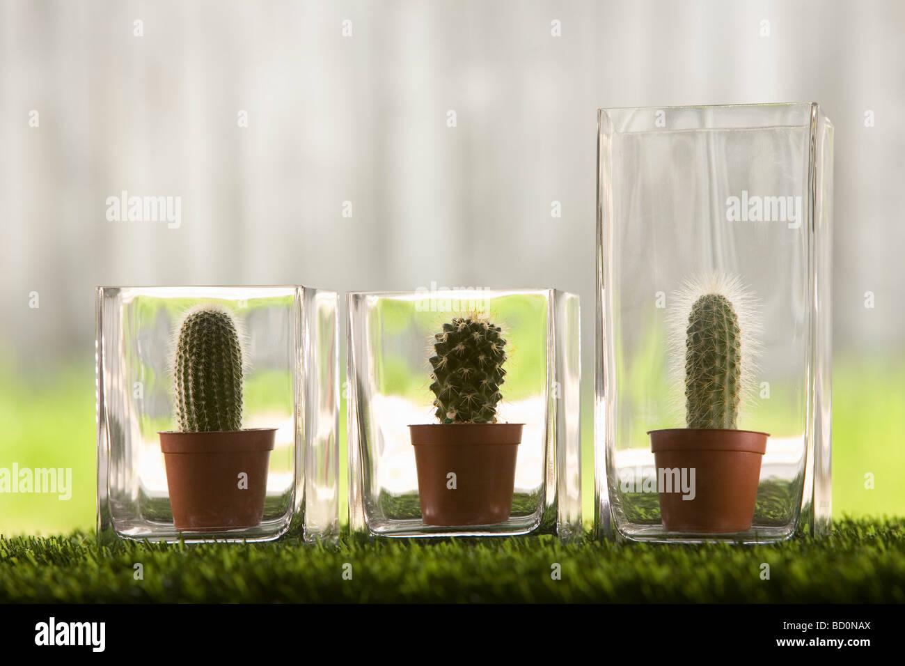 Cacti in glass vases Stock Photo