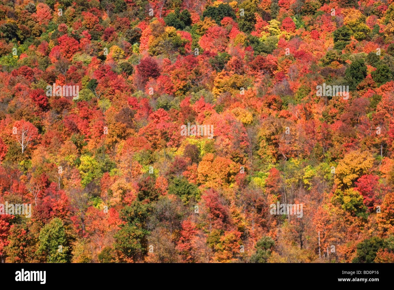 Autumnal deciduous trees change colour on a hillside in West Virginia, USA - Stock Image