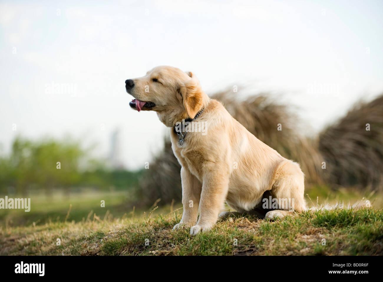 Golden retriever puppy panting - Stock Image
