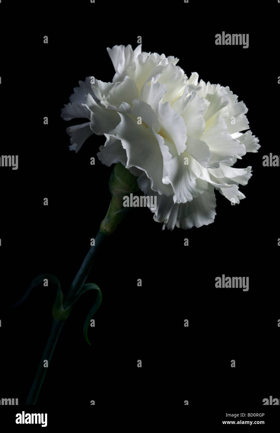 White Carnation on black - Stock Image