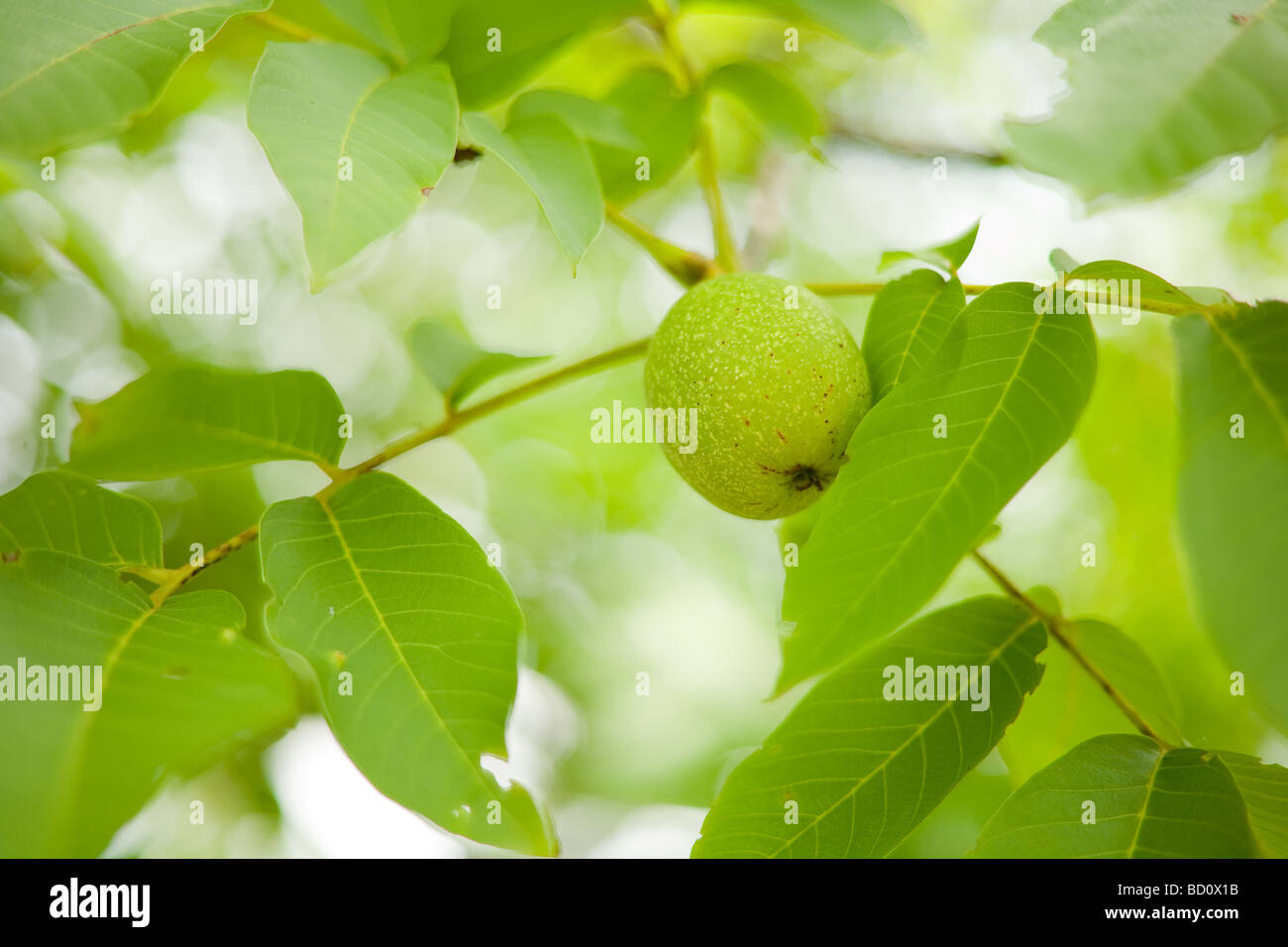 Green nut hanging on a tree branch between leaves - Stock Image