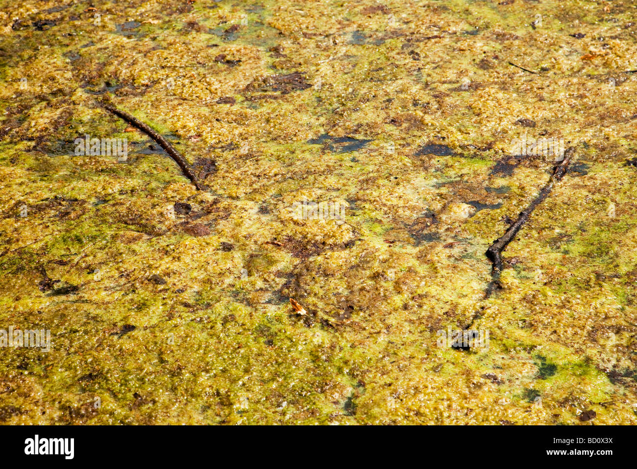 Algae growing on water - Stock Image