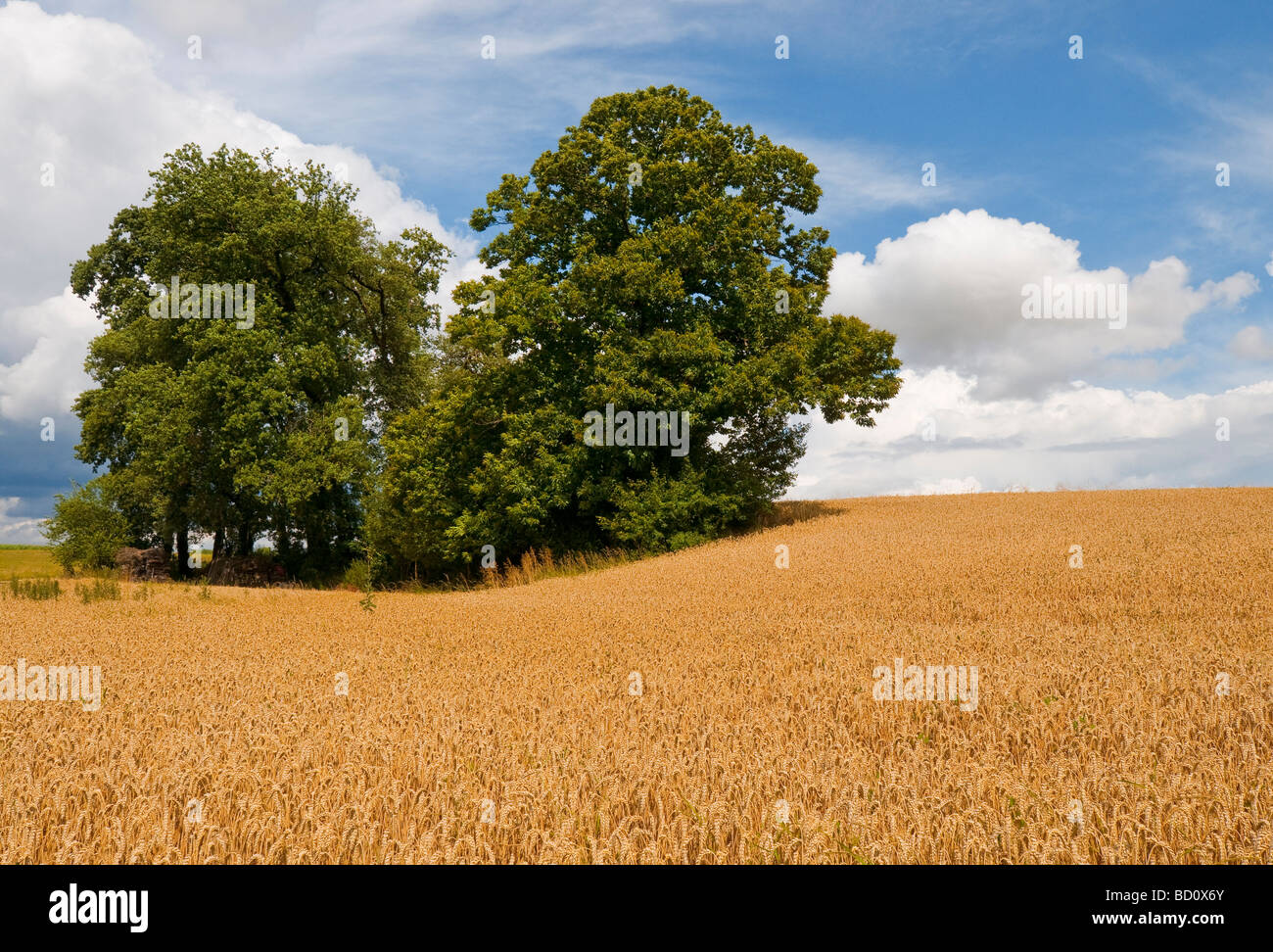 Oak and Sweet Chestnut trees in middle of cornfield - sud-Touraine, France. - Stock Image