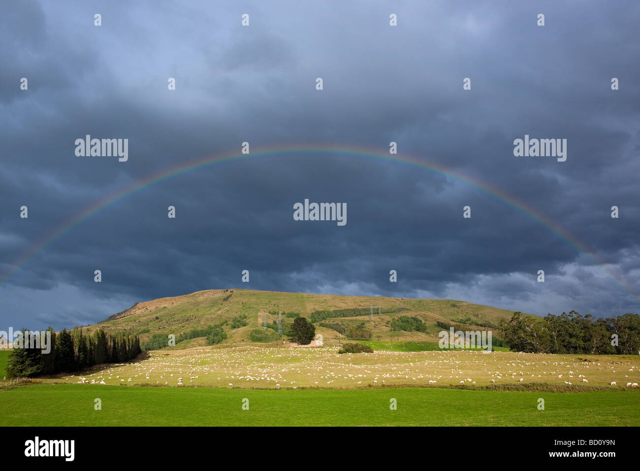 Sheeps under the Rainbow in the Catlins South Island New Zealand - Stock Image
