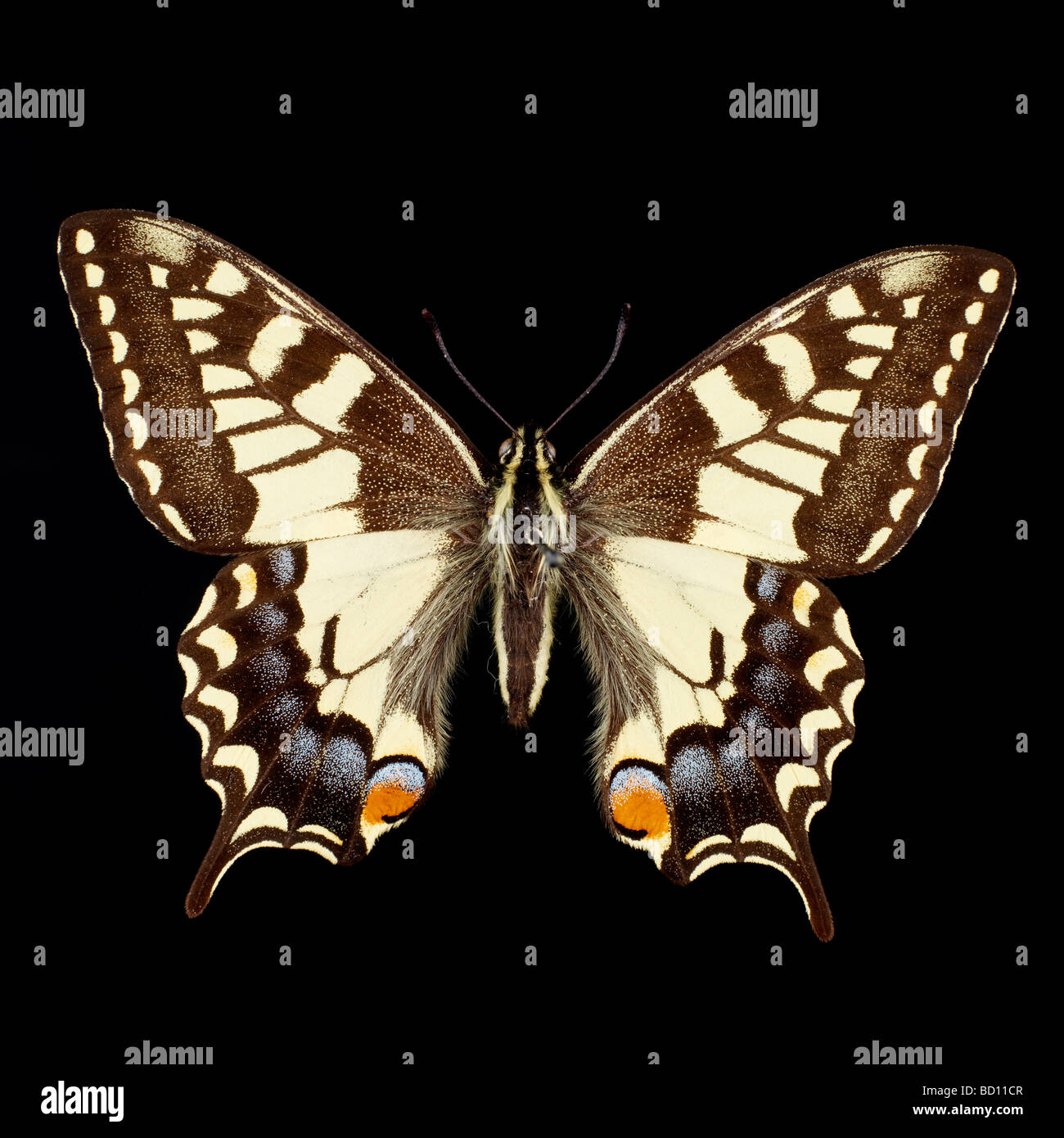 machaon, swallowtail butterfly black background - Stock Image
