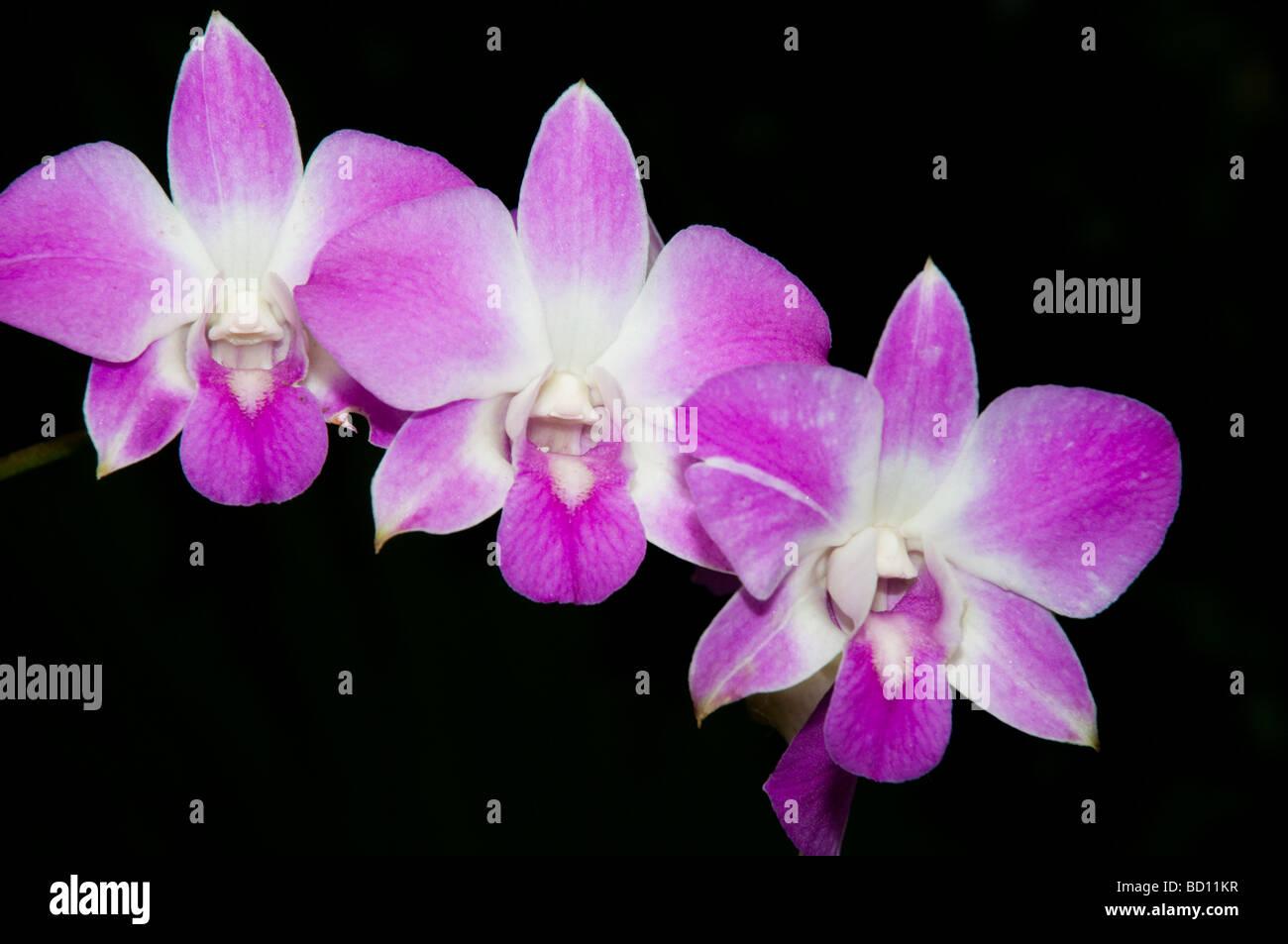 Cane Orchid, Dendrobium, Elma-Pink, Orchidaceae - Stock Image
