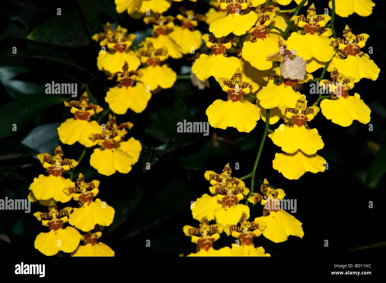 Dancing Ladies Orchids, Oncidium, Gower Ramsey, Orchidaceae - Stock Image