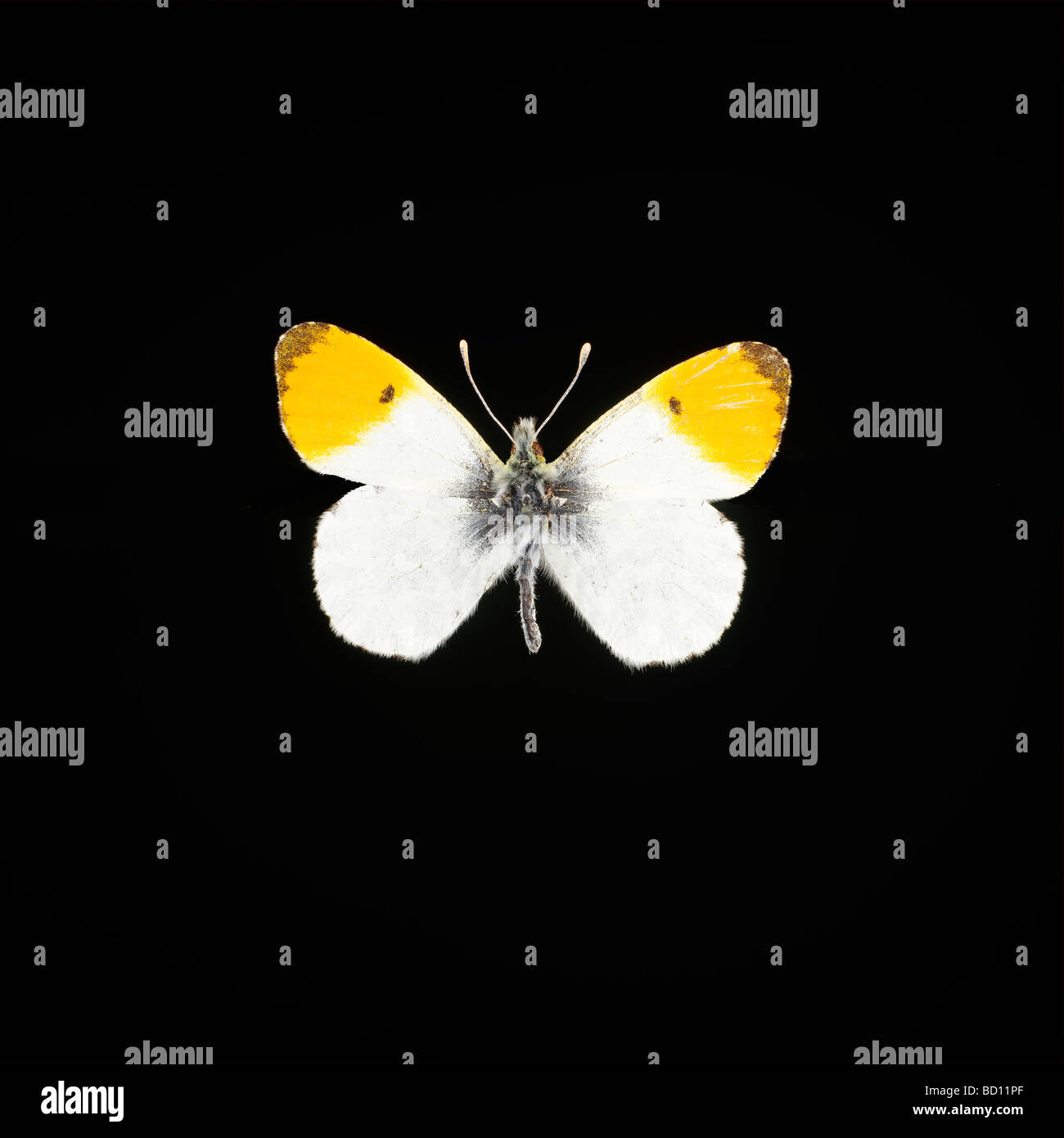 The Orange Tip (Anthocharis cardamines) is a butterfly in the Pieridae family. - Stock Image