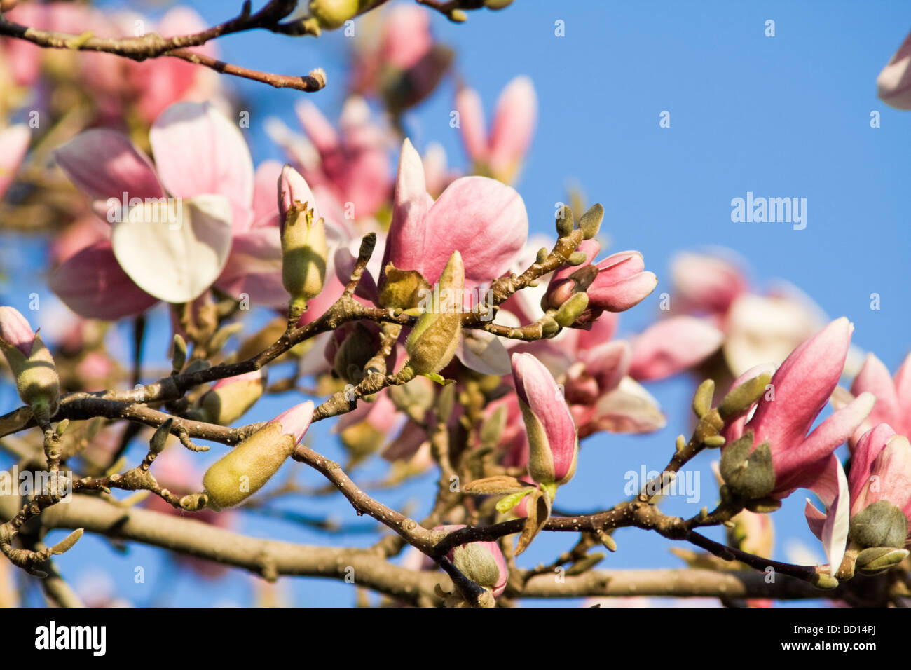 Blossoming Magnolia Spring In Chicago Stock Photo 25226618 Alamy