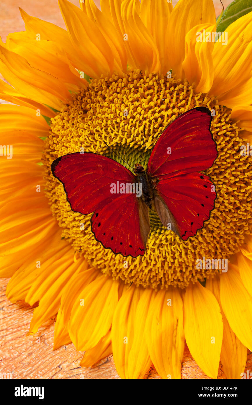 Red butterfly on sunflower - Stock Image