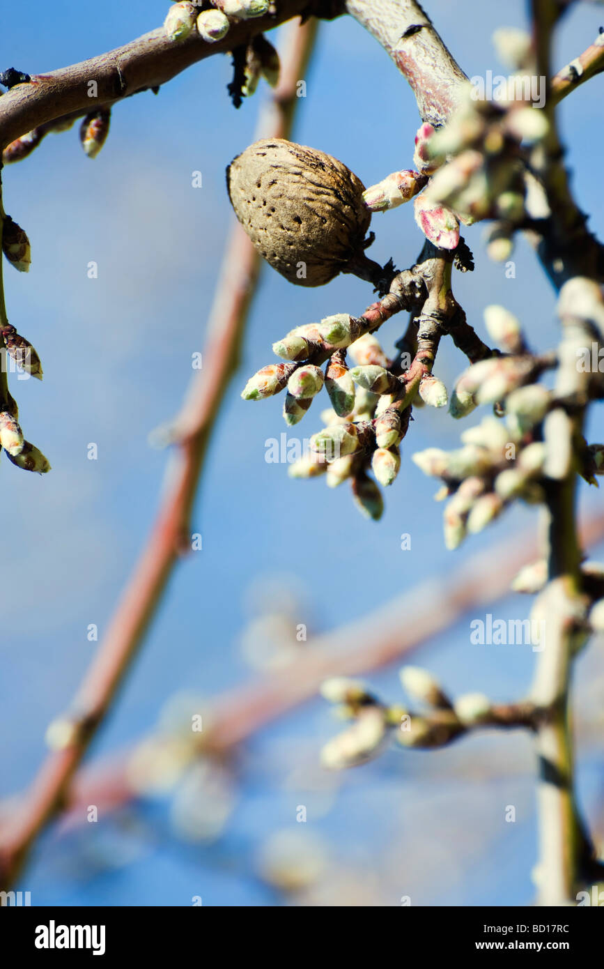 Almond tree budding, close-up of branch - Stock Image