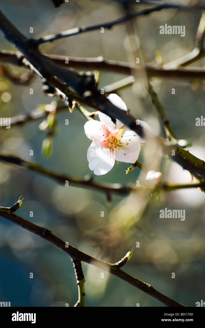 Almond tree in flower, close-up of branches Stock Photo
