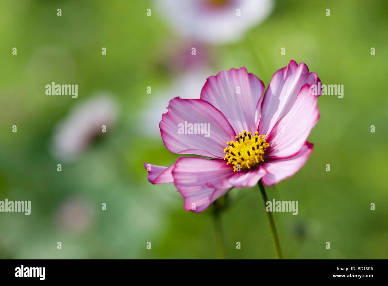 Cosmos Flower Perennial Stock Photos Cosmos Flower Perennial Stock