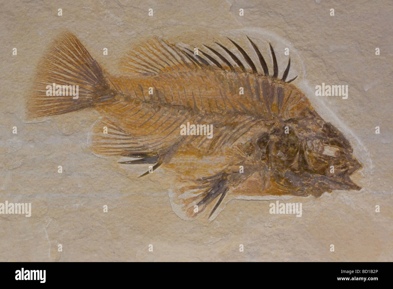 Fossil fish - Stock Image
