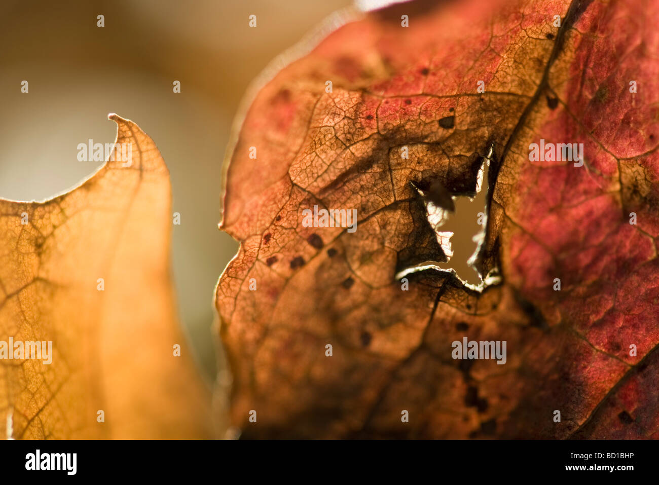 Dried leaf with hole in it, extreme close-up - Stock Image