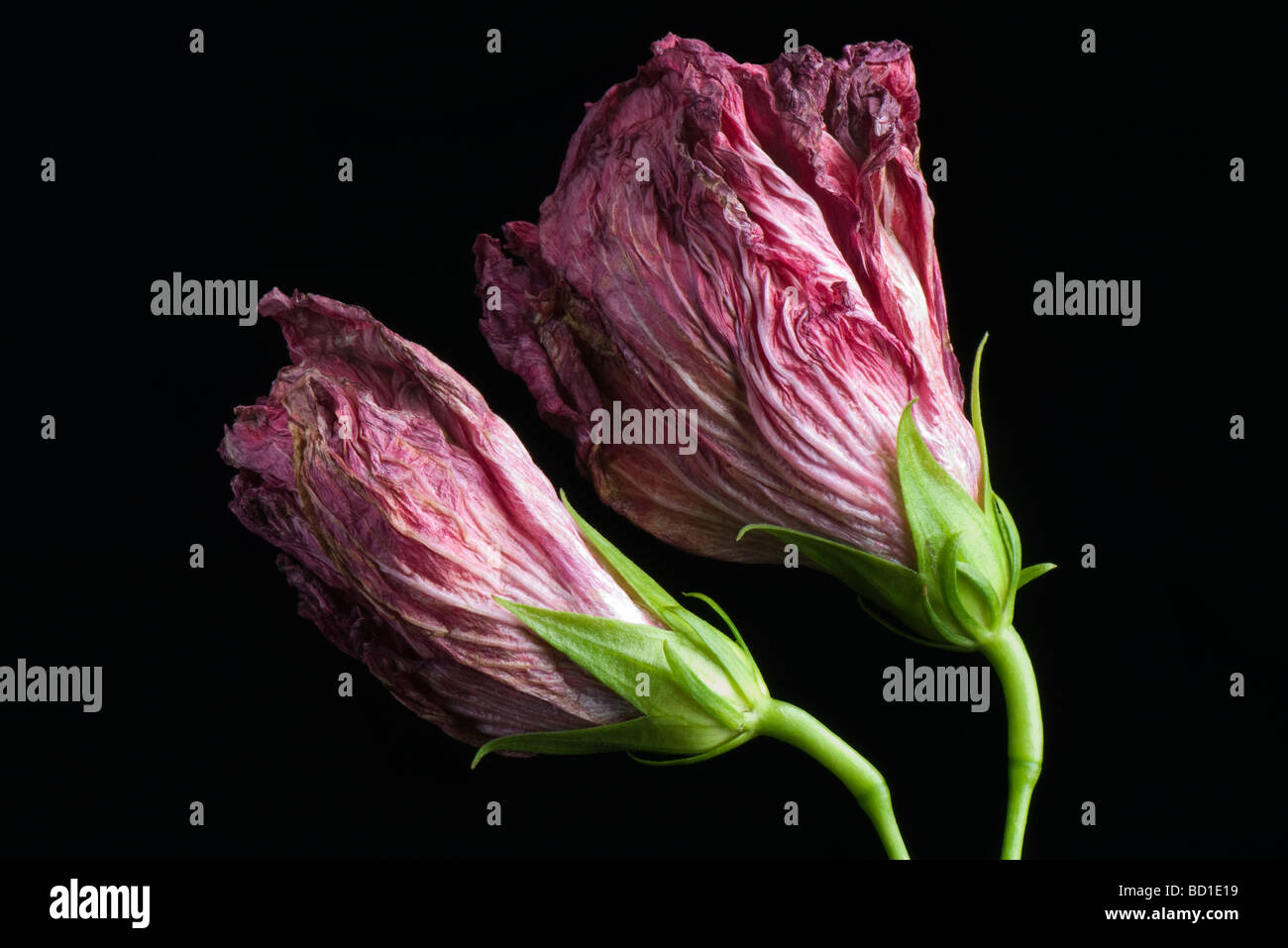 Flowers wilting, side view - Stock Image