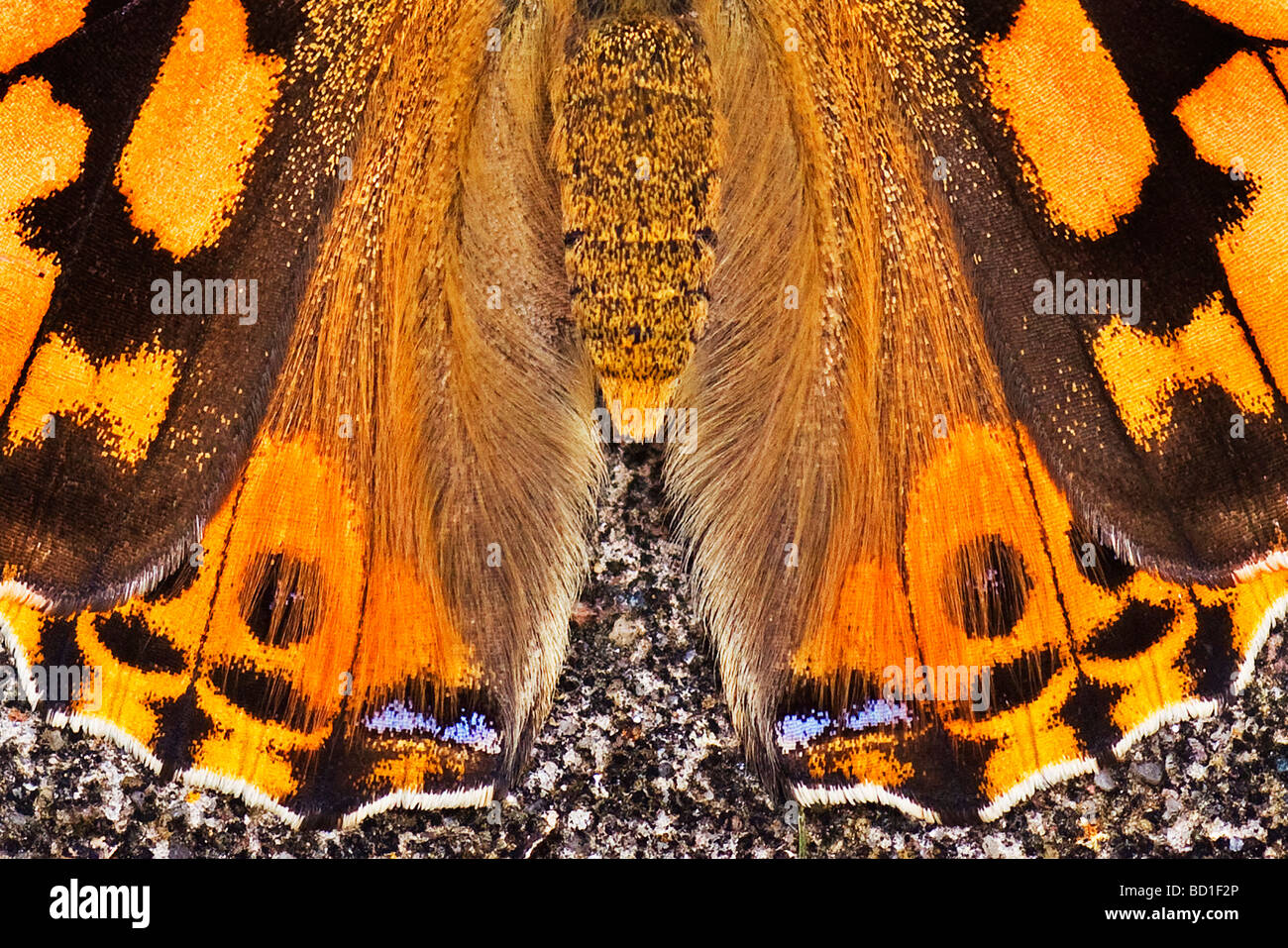 Painted Lady butterfly Vanessa cardui - Stock Image