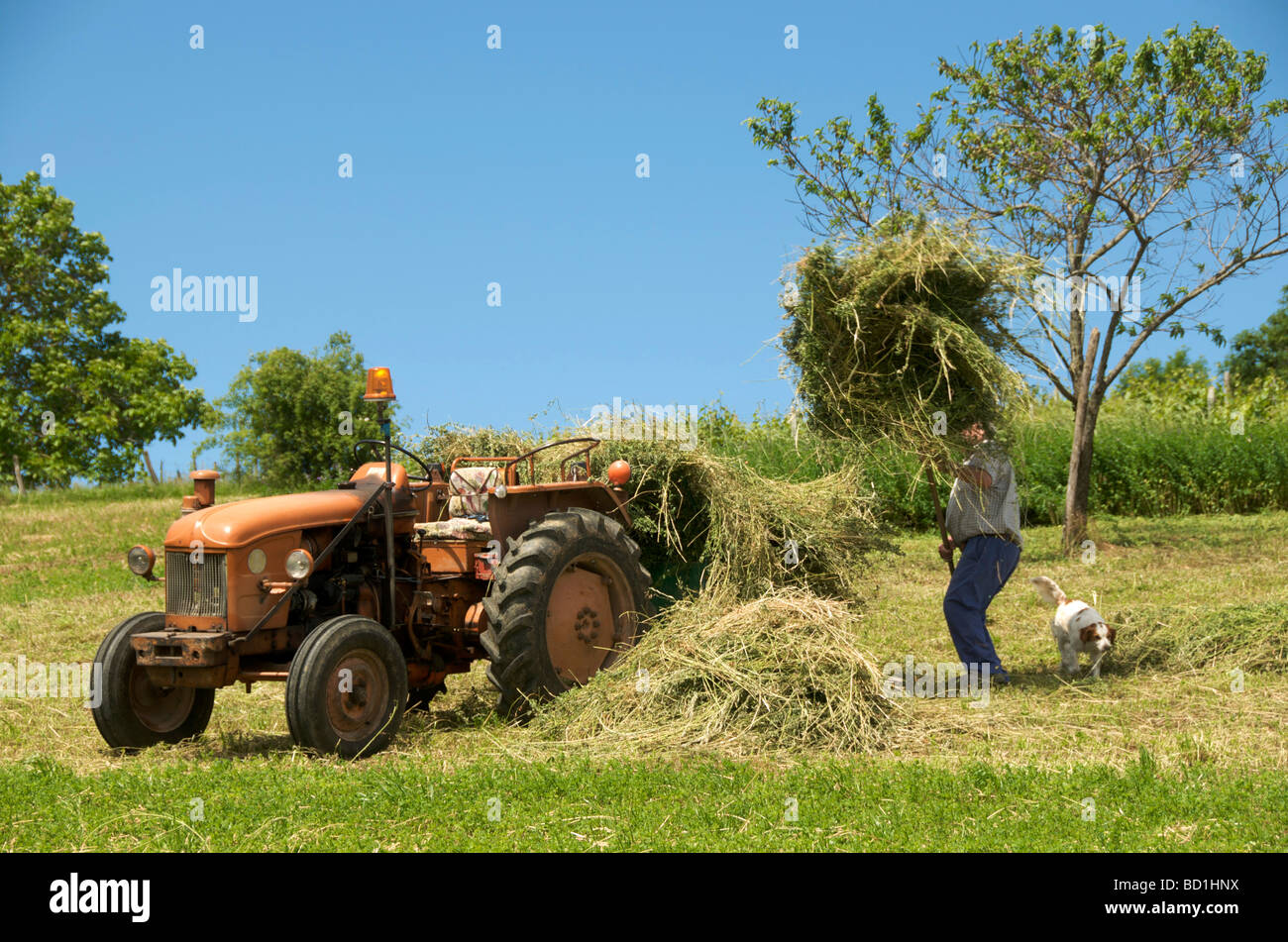Farmer collecting hay together with its dog and old-fashioned tractor - Stock Image