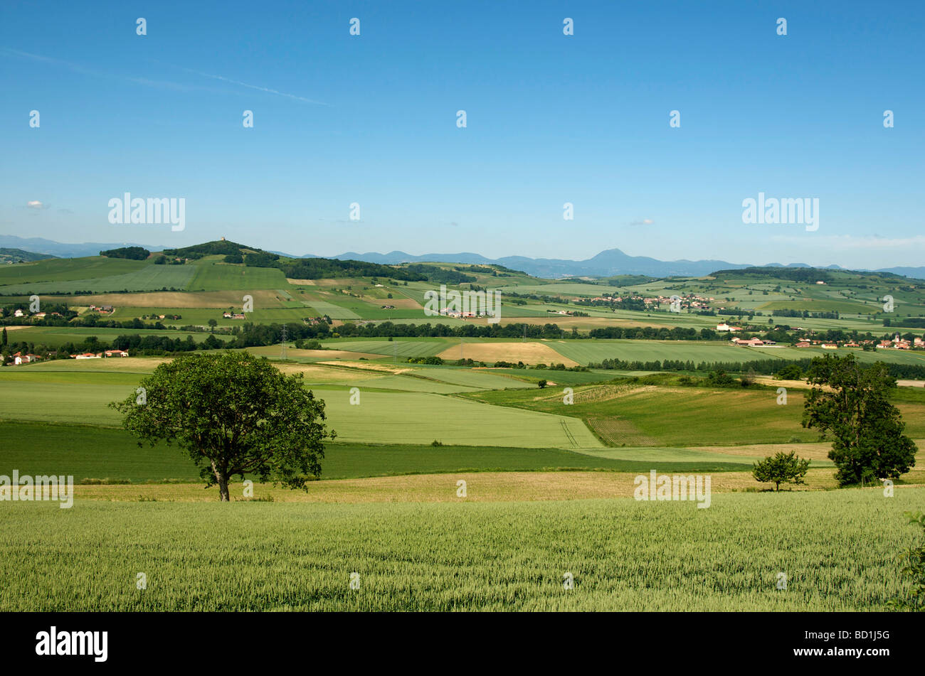 Corn field in the plain of the limagne. Auvergne. France. - Stock Image