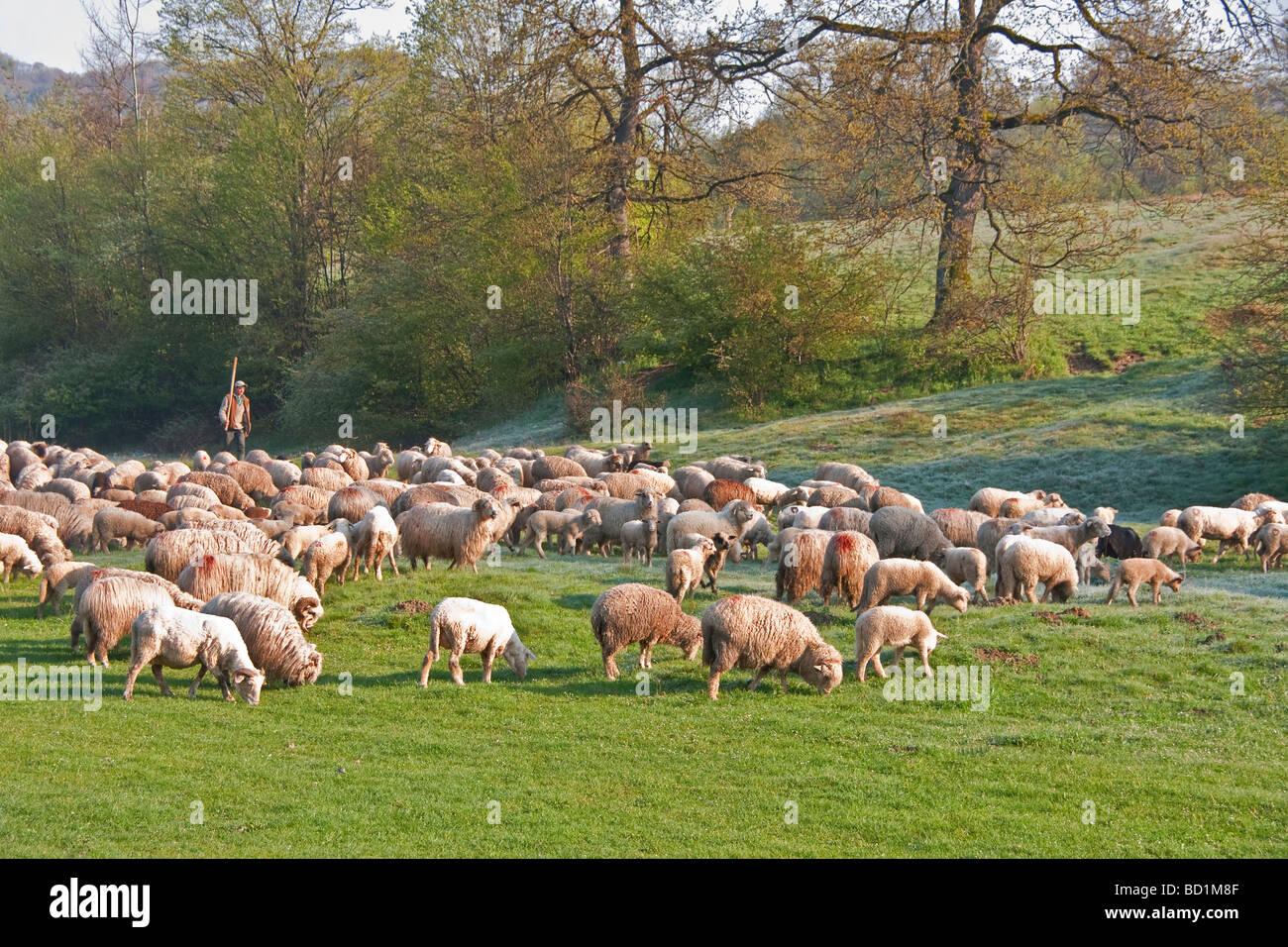 Romanian shepherd with flock in Tranyslvania coutryside near Bran - Stock Image