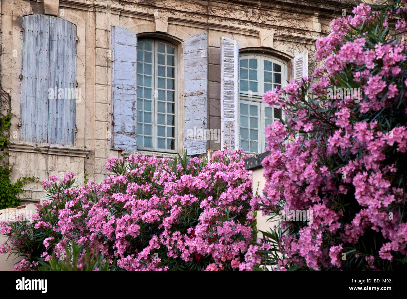 Purply pink flowers in front of blue shuttered windows in St. Remy de-Provence France - Stock Image