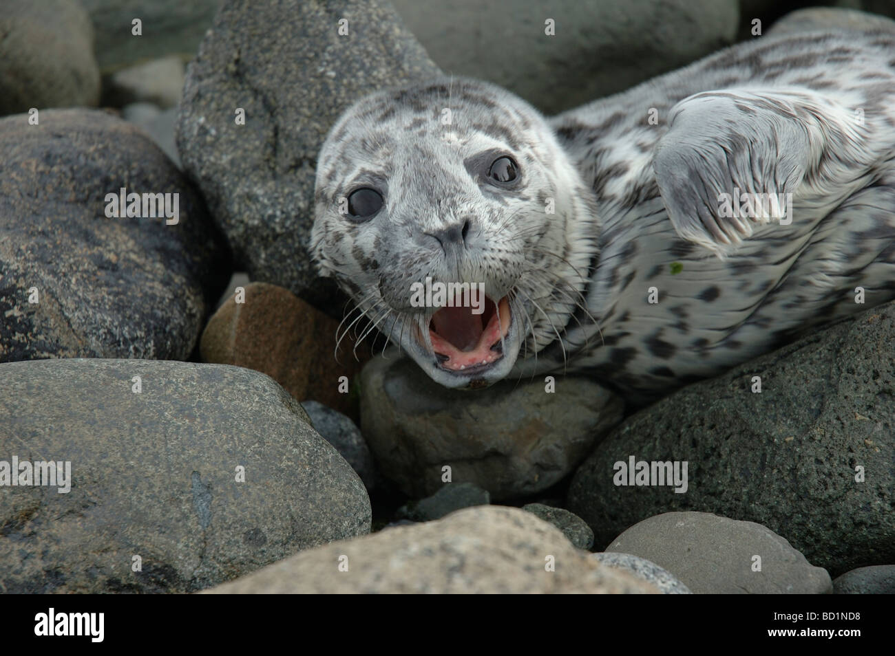 A baby seal stranded on the shore screaming with his mouth and eyes wide open. - Stock Image