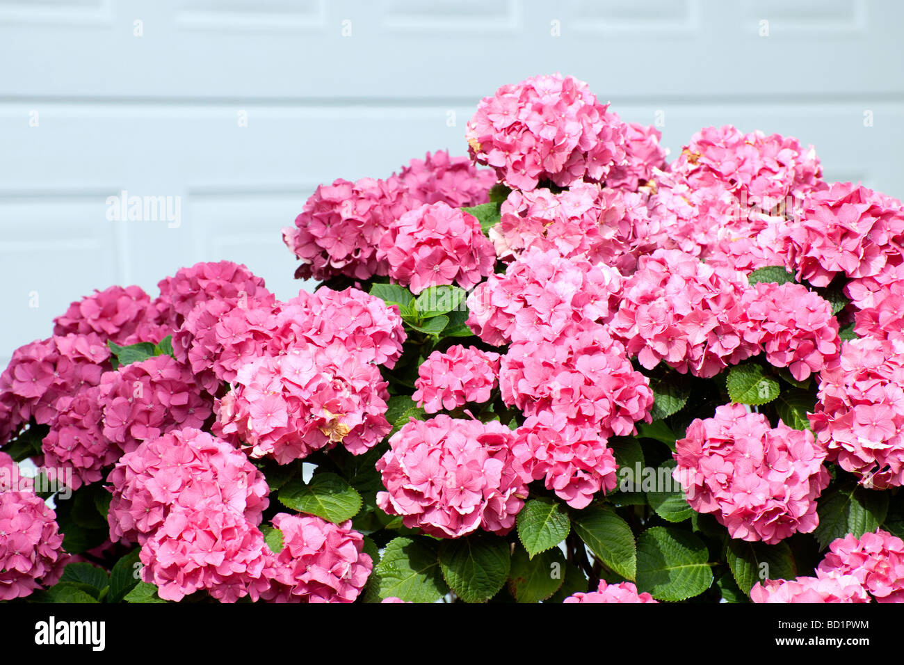 Pink Hydrangea in garden of suburban house - Stock Image