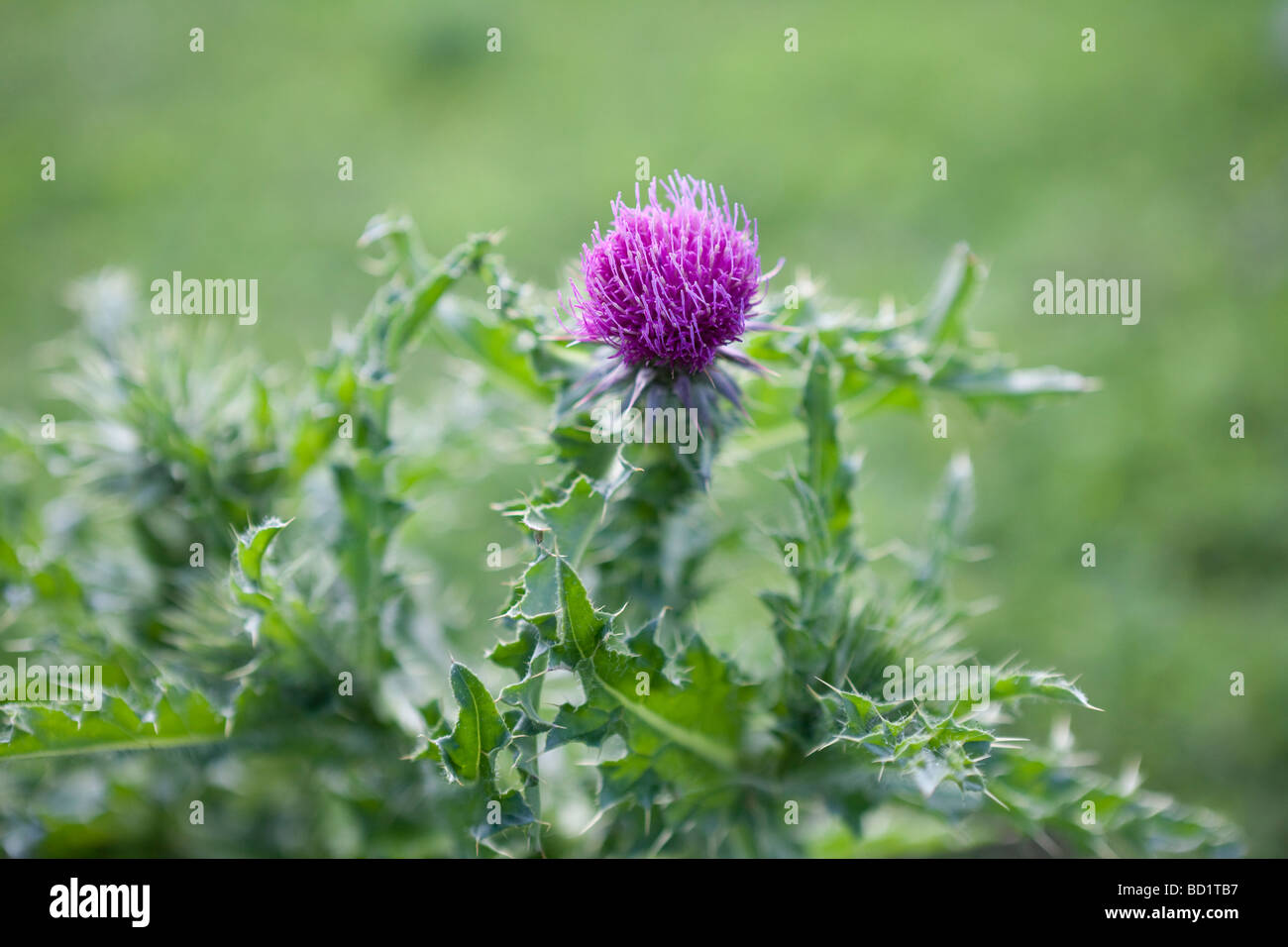 Scotch thistle Onopordum acanthium - Stock Image
